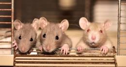 Ilustrasi tikus-tikus oleh sipa dari pixabay.com
