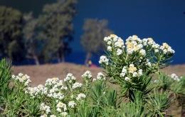 Bunga Edelweiss, Sumber gambar: https://jatenglive.com/