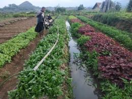 Kebun Organik Widji Farm / dokpri