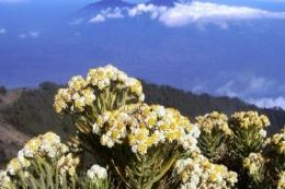 Bunga Edelweiss. (Foto: Kuya Hejo/Tribunnews.com)