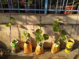 Bibit gratis dari biji buah | foto: KRAISWAN