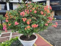 Bunga-bunga merah bermekaran| Sumber: dokumentasi pribadi