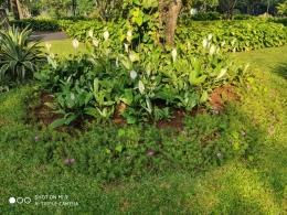 Bunga-bunga putih bermekaran| Sumber: dokumentasi pribadi