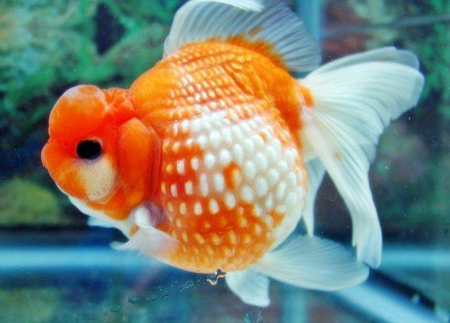 Ilustrasi Ikan Mas Koki Mutiara Jambul, sumber: duniaq.com