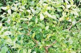 Cabai rawit daunnya jadi keriting dan