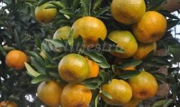 Ilustrasi Pohon dikenali dari buahnya (sumber: balitjestro.litbang.pertanian.go.id)