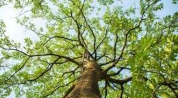 Pohon Pule yang tinggi dan besar ( Sumber foto: cnnindonesia.com)