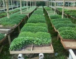 Cabai rawit yang sudah siap dipindahkan ke lahan. Foto: kanopistory.blogspot.com