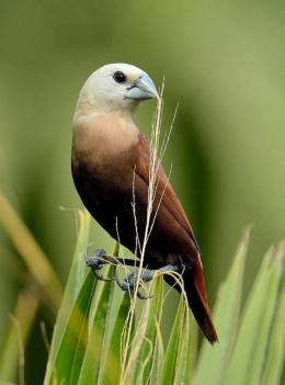 Peking Kaji ( Birdclopedia )