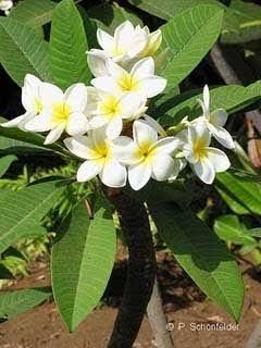 Pohon Kamboja ( Flora Indonesia )