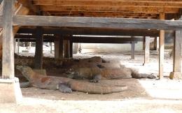 Komodo-komodo di Pulau Komodo (Dokumentasi pribadi)