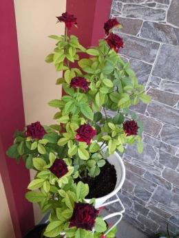 Dokpri bunga mawar mekar 9 koleksi Ari Budiyanti