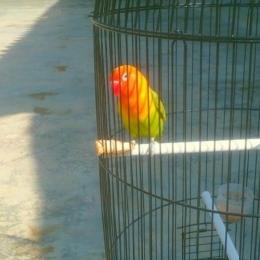 sumber : foto burung love bird peliaraanku