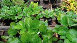 Berkebun strawberry di polybag pada pekarangan rumah yang minimalis, hingga buat rak tanaman (Dokumentasi pribadi Bayu)