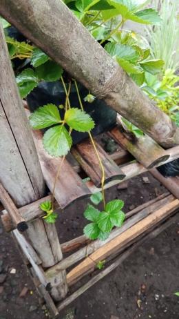 Salah satu stolon strawberry yang sudah belum ada akarnya (Dokumentasi pribadi Bayu)