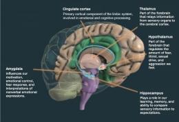 ilustrasi sistem limbik otak manusia - idntimes.com