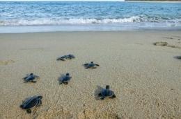 Ilustrasi anak kura-kura menuju pantai. sumber: iStockphoto