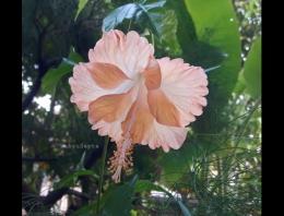 Bunga sepatu lokal berwarna kuning oranye.   Foto: Wahyu Sapta.