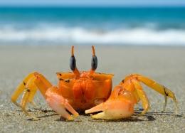 Ilustrasi kepiting. Sumber: Gambar oleh Franklin Medina dari Pixabay