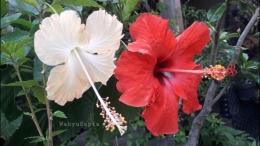 Bunga sepatu lokal oranye dan merah.   Foto: Wahyu Sapta.