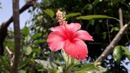 Bunga sepatu berdaun variegata. Rajin berbunga tanpa mengenal musim. Asal rajin menyiram, ia memberikan bunganya.   Foto: Wahyu Sapta..