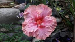 Bunga sepatu bangkok, bunganya bertumpuk. Harganya beda dengan bunga sepatu lokal. Lebih mahal. Bentuk daunnya seperti daun mangkokan.   Foto: Wahyu Sapta.