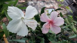 Bunga sepatu lokal berwarna putih dan pink.   Foto: Wahyu Sapta.