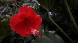 Bunga sepatu berdaun variegata. Bunganya merah.   Foto: Wahyu Sapta.