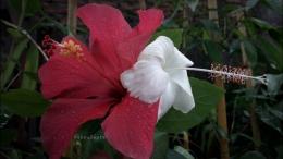 Bunga sepatu jenis lokal, berbunga besar dan kecil. Warnanya cantik.   Foto: Wahyu Sapta.