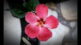 Bunga Sepatu warna pink semburat putih.   Foto: Wahyu Sapta.