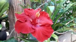 Bunga sepatu bangkok warna merah.   Foto: Wahyu Sapta.