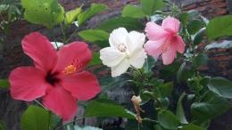 Bunga sepatu lokal ketika berbunga bersamaan.   Foto: Wahyu Sapta.