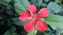 Bunga sepatu lokal dengan bentuk bunga yang berbeda-beda.   Foto: Wahyu Sapta.