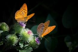 Ilustrasi dua kupu-kupu. Sumber: Gambar oleh Gerhard Bögner dari Pixabay