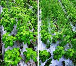 Tanaman basil dalam kelompok ataupun berbaur dengan bawang merah tak masalah   dok Rynari
