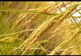 Tanaman Padi / Sumber : Bobo. Grid melalui Kompas.com