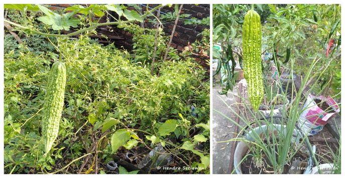 Memanfaatkan tempat terbatas untuk berkebun (foto: dok. pribadi)