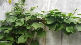Labu siam rimbun di pojokan kebun (Dokumentasi pribadi)