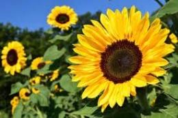 bunga matahari (sumber : almanac.com)