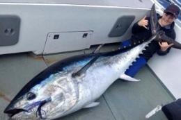 Ikan Tuna Sirip Biru yang Ukurannya dapat mencapai ukuran Manusia dewasa (sumber gambar : sulsel.idntimes.com )