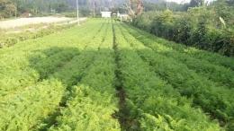 Jarak antar bedengan pada lahan yang ditanami wortel (Dokumentasi pribadi)