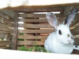 Ternak kelinci dalam kandang (Dokumentasi pribadi)