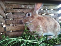 Ternak kelinci sedang melahap pakan dari hasil sampingan pertanian wortel - Dokumentasi pribadi