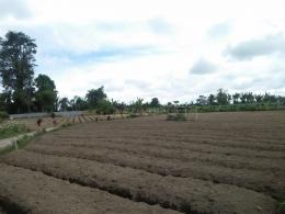 Lahan yang baru disiapkan untuk menanam wortel (Dokumentasi pribadi)