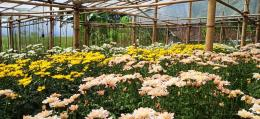 DOKPRI: hamparan bunga krisan