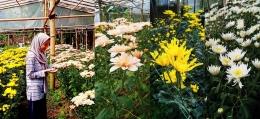 DOKPRI: dokumentasi dan bunga krisan dengan 3 jenis yang berbeda