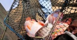 Hasil panen investasi Bolang, ikan jenis merah dan hitam. Dok M. Yunus