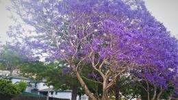 bunga Jakaranda (dok pribadi)