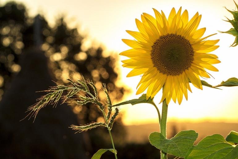 Bunga matahari di taman | foto: pixabay/mploscar—