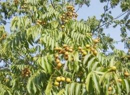 Pohon Lerak. Sumber Gambar: Pesantren.laduni.id
